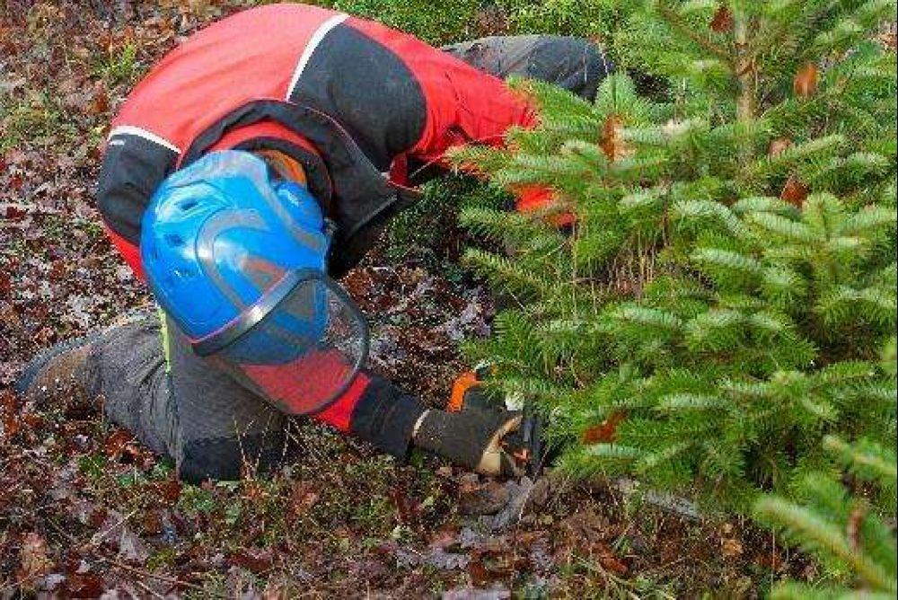 Weihnachtsbaum Selber Schneiden.Bäumchen Mit Schweizer Wurzeln Schreinerzeitung Informatives Und